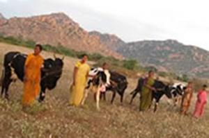 A Bellota Agrisolutions destina 155 vacas para a criação de recursos na Índia.