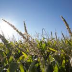 Fertilização e rega no milho